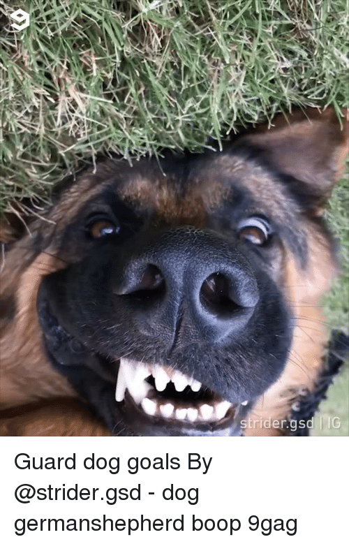 gsd: Guard dog goals By @strider.gsd - dog germanshepherd boop 9gag