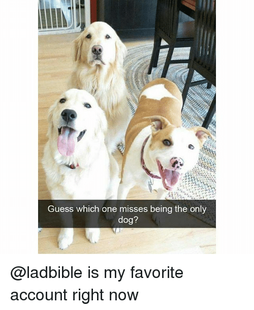 Funny, Guess, and Dog: Guess which one misses being the only  dog? @ladbible is my favorite account right now