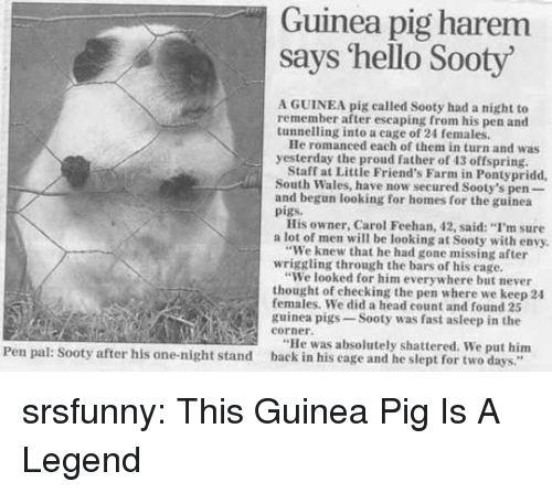 "Father Of: Guinea pig harem  says 'hello Sooty  A GUINEA pig called Sooty had a night to  remember after escaping from his pen and  tunnelling into a eage of 24 females.  He romanced each of them in turn and was  yesterday the proud father of 43 offspring  Staff at Little Friend's Farm in Pontypridd  South Wales, have now secured Sooty's pen-  and begun looking for homes for the guinea  pigs.  His owner, Carol Feehan, 42, said: ""I'm sure  a lot of men will be looking at Sooty with envy.  ""We knew that he had gone missing after  ""We looked for him everywhere but never  females. We did a head count and found 25  wriggling through the bars of his cage.  thought of checking the pen where we keep 24  guinea pigs-Sooty was fast asleep in the  eorner.  ""He was absolutely shattered. We put him  Pen pal: Sooty after his one-night stand back in his cage and he slept for two days."" srsfunny:  This Guinea Pig Is A Legend"