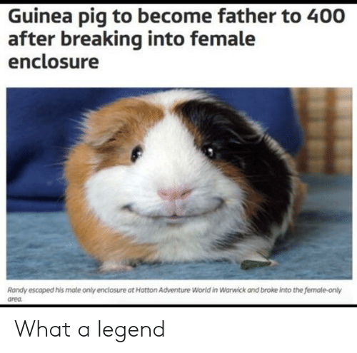 Guinea Pig: Guinea pig to become father to 400  after breaking into female  enclosure  Randy escaped his male only enclosure at Hatton Adventure World in Warwick and broke into the female-only  area What a legend