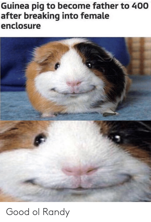 randy: Guinea pig to become father to 400  after breaking into female  enclosure Good ol Randy
