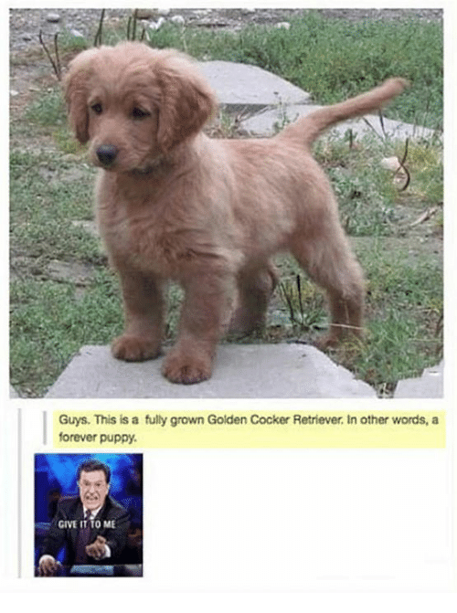 Dank, Forever, and Puppy: Guys. This is a fully grown Golden Cocker Retriever. In other words, a  forever puppy.  · GIVE IT TO ME