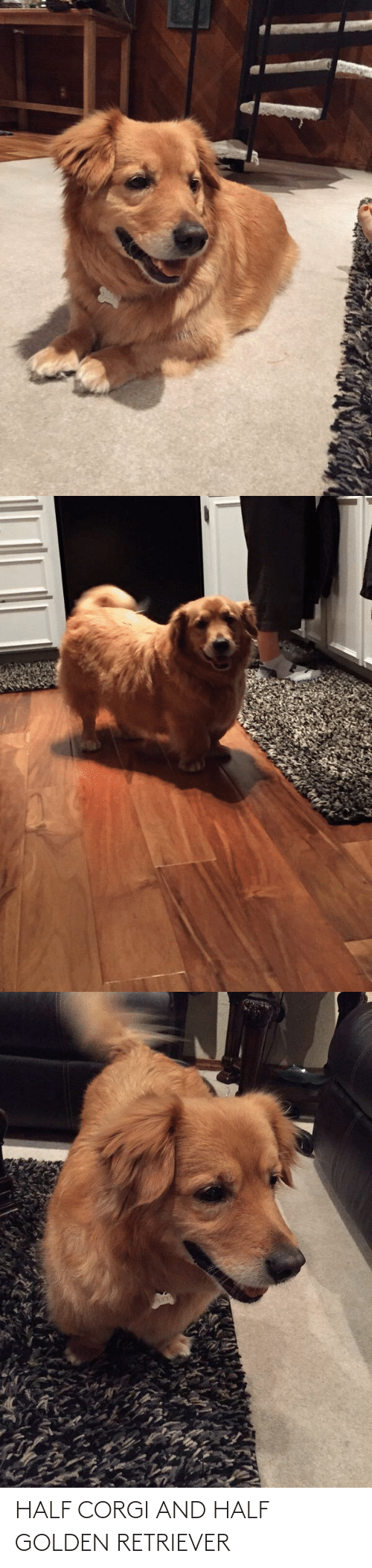 Golden: HALF CORGI AND HALF GOLDEN RETRIEVER