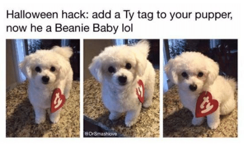 Halloween, Lol, and Humans of Tumblr: Halloween hack: add a Ty tag to your pupper,  now he a Beanie Baby lol  @DrSmashlove