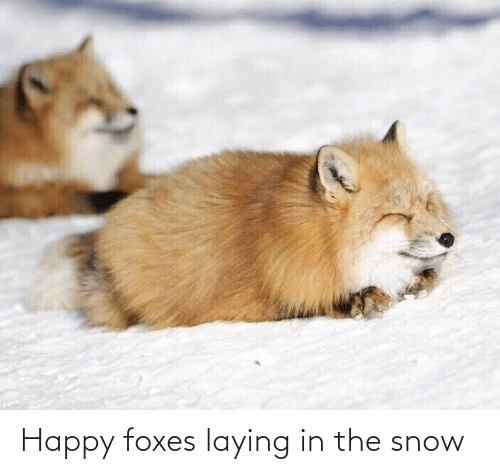 foxes: Happy foxes laying in the snow