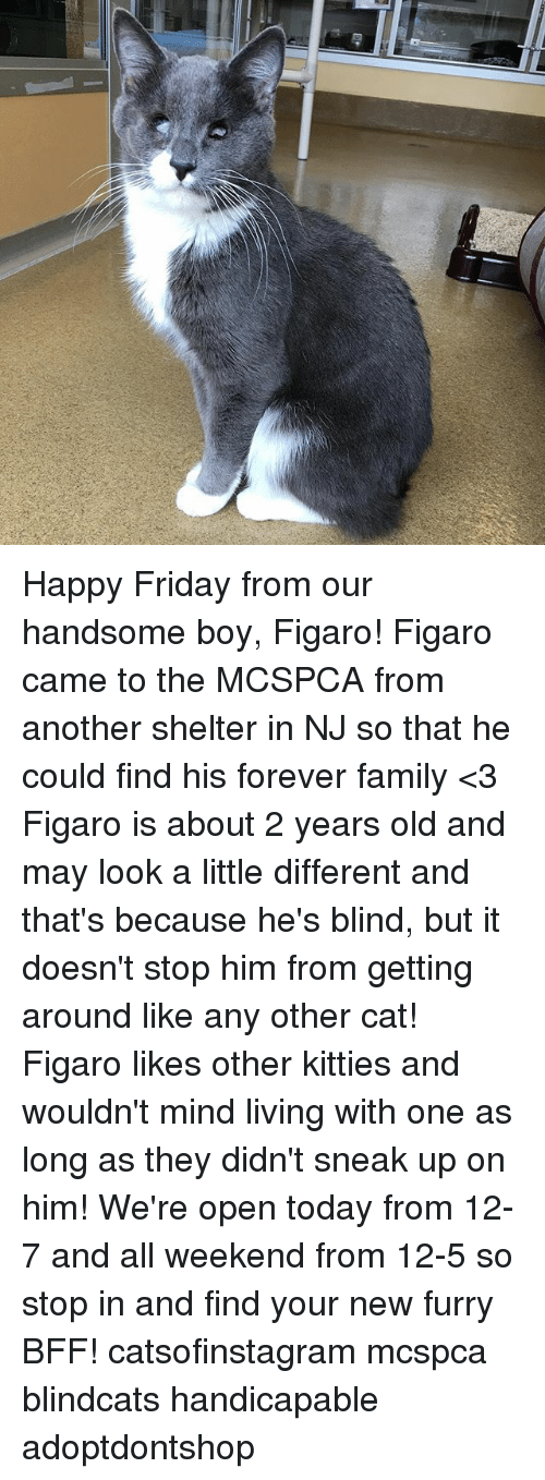 Family, Friday, and Kitties: Happy Friday from our handsome boy, Figaro! Figaro came to the MCSPCA from another shelter in NJ so that he could find his forever family <3 Figaro is about 2 years old and may look a little different and that's because he's blind, but it doesn't stop him from getting around like any other cat! Figaro likes other kitties and wouldn't mind living with one as long as they didn't sneak up on him! We're open today from 12-7 and all weekend from 12-5 so stop in and find your new furry BFF! catsofinstagram mcspca blindcats handicapable adoptdontshop