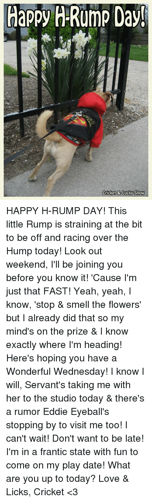 Have A Wonderful Wednesday: Happy H-Rump Day!  Cricket&7LUCKS how HAPPY H-RUMP DAY!  This little Rump is straining at the bit to be off and racing over the Hump today!  Look out weekend, I'll be joining you before you know it!  'Cause I'm just that FAST!  Yeah, yeah, I know, 'stop & smell the flowers' but I already did that so my mind's on the prize & I know exactly where I'm heading!  Here's hoping you have a Wonderful Wednesday!  I know I will, Servant's taking me with her to the studio today & there's a rumor Eddie Eyeball's stopping by to visit me too!  I can't wait!  Don't want to be late!  I'm in a frantic state with fun to come on my play date!  What are you up to today?  Love & Licks, Cricket <3
