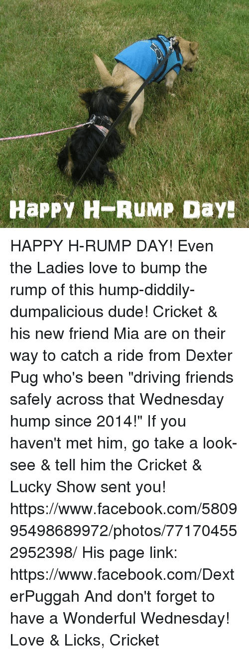 """Have A Wonderful Wednesday: HaPPY H RUMP Day HAPPY H-RUMP DAY!  Even the Ladies love to bump the rump of this hump-diddily-dumpalicious dude!  Cricket & his new friend Mia are on their way to catch a ride from Dexter Pug who's been """"driving friends safely across that Wednesday hump since 2014!""""  If you haven't met him, go take a look-see & tell him the Cricket & Lucky Show sent you!  https://www.facebook.com/580995498689972/photos/771704552952398/  His page link:  https://www.facebook.com/DexterPuggah And don't forget to have a Wonderful Wednesday!  Love & Licks, Cricket"""