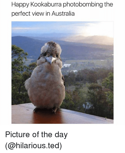 Funny, Ted, and Australia: Happy Kookaburra photobombing the  perfect view in Australia Picture of the day (@hilarious.ted)