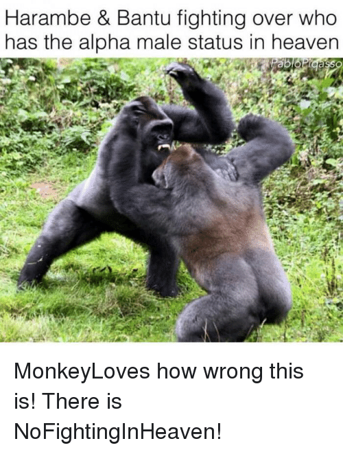 25 best memes about harambe and fighting harambe and fighting