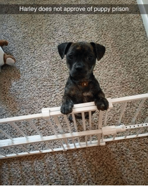 Memes, Prison, and Puppy: Harley does not approve of puppy prison