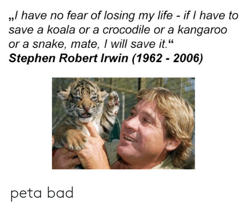 """koala: ,,/ have no fear of losing my life - if I have to  save a koala or a crocodile or a kangaroo  or a snake, mate, I will save it.""""  Stephen Robert Irwin (1962 - 2006)  35 peta bad"""