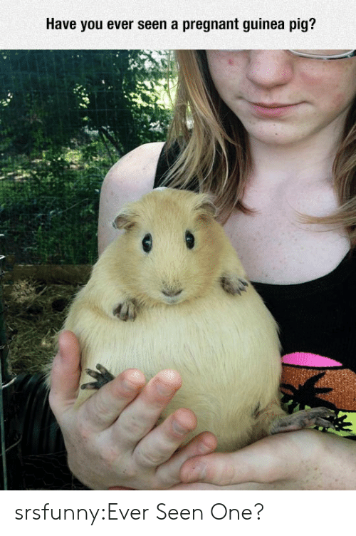 Guinea Pig: Have you ever seen a pregnant guinea pig? srsfunny:Ever Seen One?