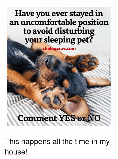 Memes, My House, and All the Time: Have you ever stayed in  an uncomfortable position  to avoid disturbing  your sleeping pet?  shake paws.com  Comment YES or NO This happens all the time in my house!