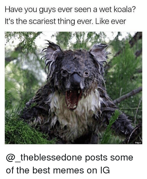 Memes, Best, and Imgur: Have you guys ever seen a wet koala?  It's the scariest thing ever. Like ever  imgur @_theblessedone posts some of the best memes on IG
