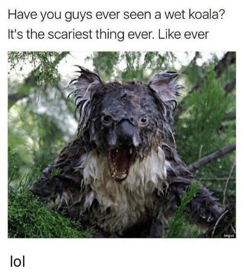 koala: Have you guys ever seen a wet koala?  It's the scariest thing ever. Like ever  mju lol