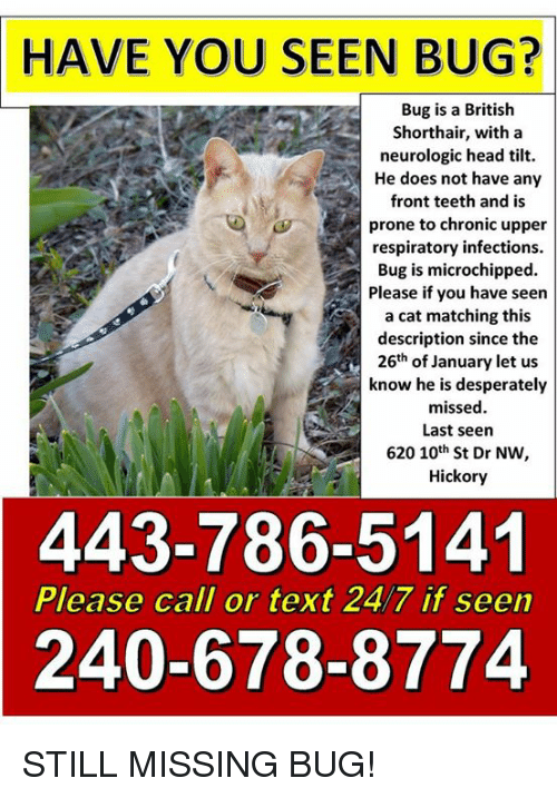 Head, Memes, and Text: HAVE  YOU SEEN BUG?  Bug is a British  Shorthair, with a  neurologic head tilt.  He does not have any  front teeth and is  prone to chronic upper  respiratory infections.  Bug is microchipped.  Please if you have seen  a cat matching this  description since the  26th of January let us  know he is desperately  missed  Last seern  620 10th St Dr NW,  Hickory  443-786-5141  240-678-8774  Please call or text 24/7 if seen STILL MISSING BUG!