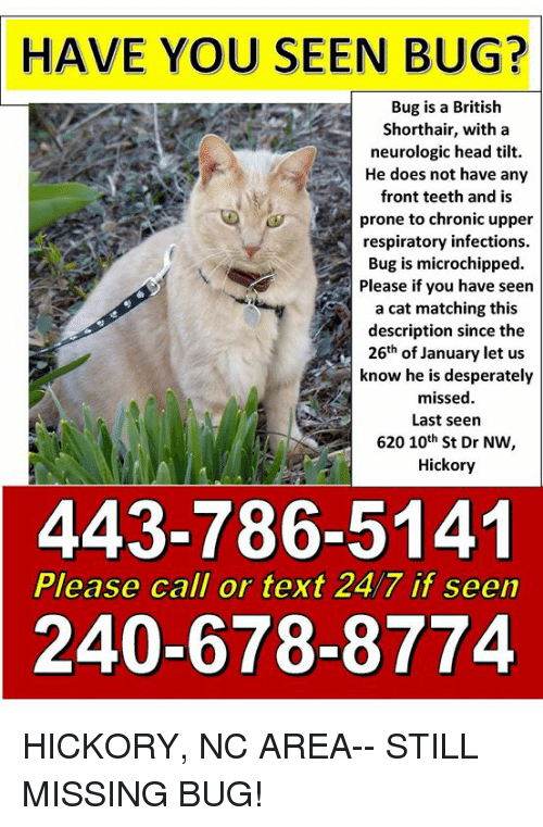 Head, Memes, and Text: HAVE YOU SEEN BUG?  Bug is a British  Shorthair, with a  neurologic head tilt.  He does not have any  front teeth and is  prone to chronic upper  respiratory infections.  Bug is microchipped.  Please if you have seen  a cat matching this  description since the  26th of January let us  know he is desperately  missed.  Last seen  620 10th St Dr NW,  Hickory  443-786-5141  240-678-8774  Please call or text 24/7 if seen HICKORY, NC AREA-- STILL MISSING BUG!
