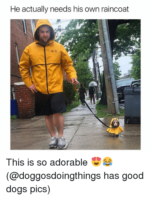 Dogs, Funny, and Good: He actually needs his own raincoat This is so adorable 😍😂 (@doggosdoingthings has good dogs pics)