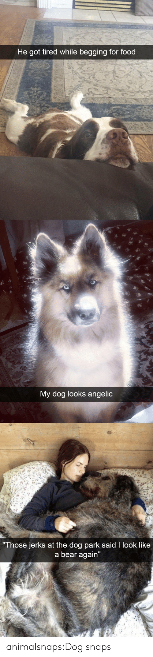 """Jerks: He got tired while begging for food   My dog looks angelic   Those jerks at the do  g park sald I look like  a bear again"""" animalsnaps:Dog snaps"""