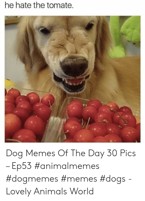 Memes Dogs: he hate the tomate. Dog Memes Of The Day 30 Pics – Ep53 #animalmemes #dogmemes #memes #dogs - Lovely Animals World