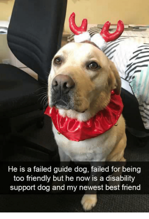 Best Friend, Best, and Dog: He is a failed guide dog, failed for being  too friendly but he now is a disability  support dog and my newest best friend