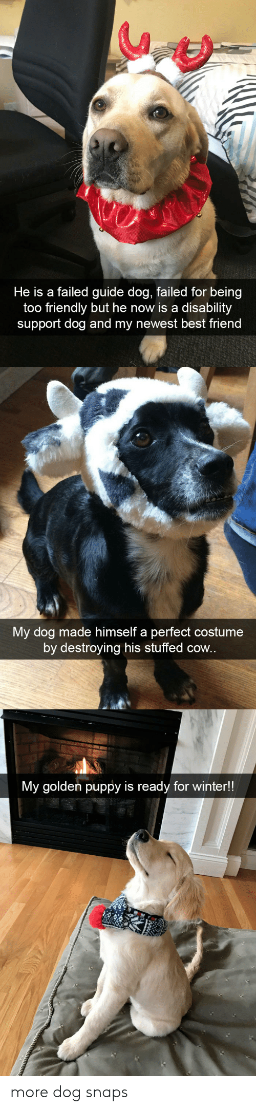 disability: He is a failed guide dog, failed for being  too friendly but he now is a disability  support dog and my newest best friend   My dog made himself a perfect costume  by destroying his stuffed cow.   My golden puppy is ready for winter!! more dog snaps