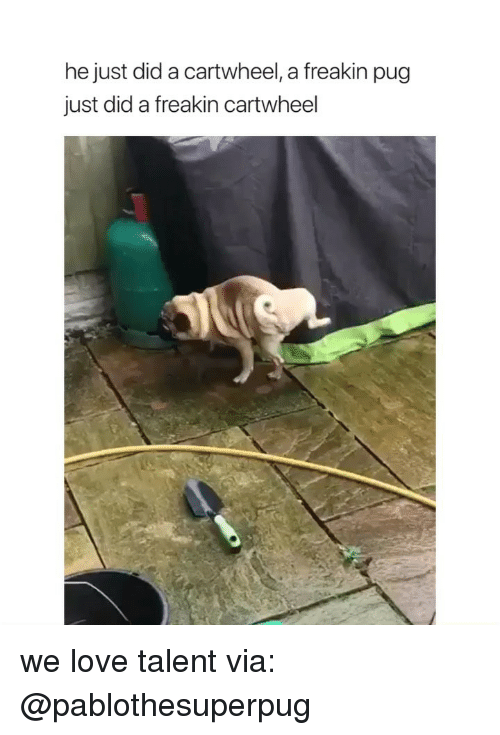 cartwheel: he just did a cartwheel, a freakin pug  just did a freakin cartwheel we love talent via: @pablothesuperpug