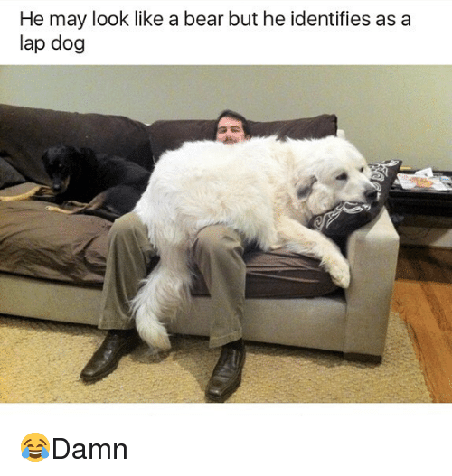 Memes, Bear, and 🤖: He may look like a bear but he identifies as a  lap dog 😂Damn
