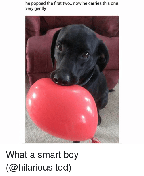 Funny, Ted, and Hilarious: he popped the first two.. now he carries this one  very gently What a smart boy (@hilarious.ted)