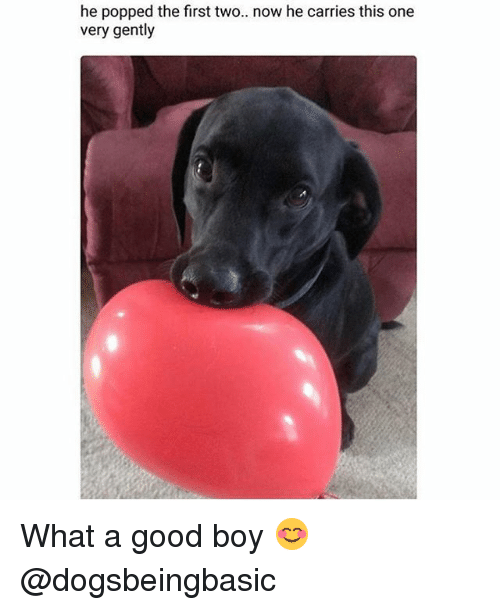 Memes, Good, and Boy: he popped the first two.. now he carries this one  very gently What a good boy 😊 @dogsbeingbasic