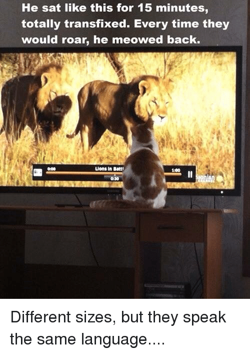 Lions: He sat like this for 15 minutes  totally transfixed. Every time they  would roar, he meowed back.  Lions in Batt  1100 Different sizes, but they speak the same language....