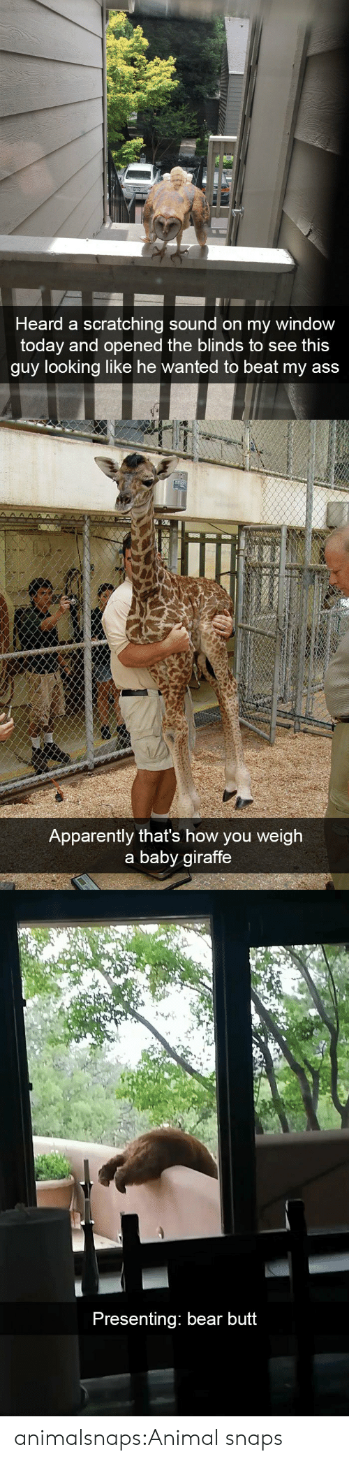 baby giraffe: Heard a scratching sound on my window  today and opened the blinds to see thi:s  guy looking like he wanted to beat my ass   Apparently that's how you weigh  a baby giraffe   Presenting: bear butt animalsnaps:Animal snaps
