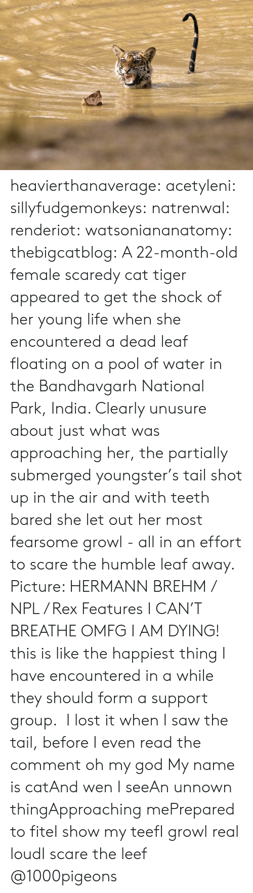 Teef: heavierthanaverage: acetyleni:  sillyfudgemonkeys:  natrenwal:  renderiot:  watsoniananatomy:  thebigcatblog:  A 22-month-old female scaredy cat tiger appeared to get the shock of her young life when she encountered a dead leaf floating on a pool of water in the Bandhavgarh National Park, India. Clearly unusure about just what was approaching her, the partially submerged youngster's tail shot up in the air and with teeth bared she let out her most fearsome growl - all in an effort to scare the humble leaf away. Picture: HERMANN BREHM / NPL / Rex Features  I CAN'T BREATHE  OMFG I AM DYING! this is like the happiest thing I have encountered in a while   they should form a support group.  I lost it when I saw the tail, before I even read the comment oh my god  My name is catAnd wen I seeAn unnown thingApproaching mePrepared to fiteI show my teefI growl real loudI scare the leef  @1000pigeons