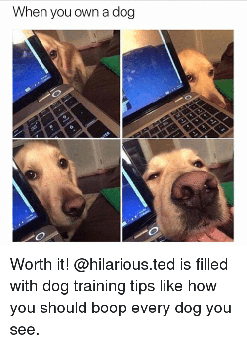 Memes, Ted, and Hilarious: hen you own a dog  6 Worth it! @hilarious.ted is filled with dog training tips like how you should boop every dog you see.