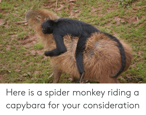 spider monkey: Here is a spider monkey riding a capybara for your consideration
