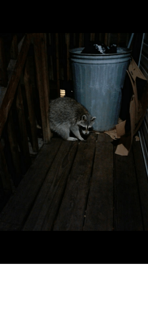 "trash can: Here's my mom's ""pet"" trash panda w/ bonus trash can. His name's Robert and he visits everyday!"