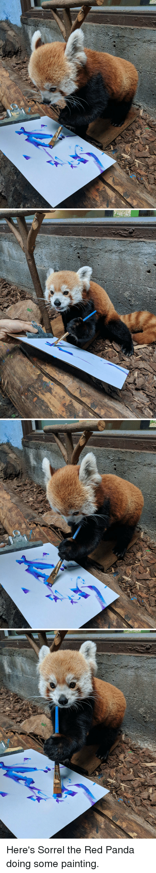 Panda, Red, and Red Panda: Here's Sorrel the Red Panda doing some painting.