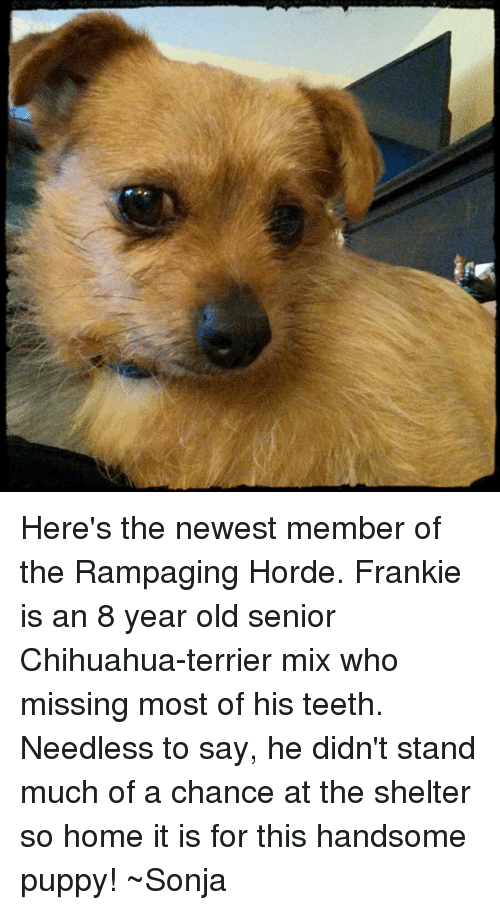 Chihuahua, Memes, and 🤖: Here's the newest member of the Rampaging Horde. Frankie is an 8 year old senior Chihuahua-terrier mix who missing most of his teeth. Needless to say, he didn't stand much of a chance at the shelter so home it is for this handsome puppy! ~Sonja