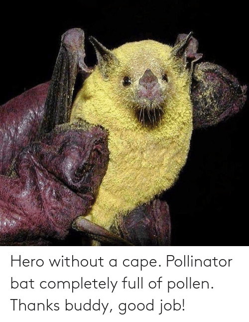 Thanks Buddy: Hero without a cape. Pollinator bat completely full of pollen. Thanks buddy, good job!