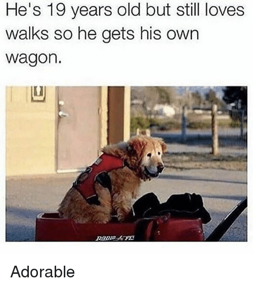 Funny, Old, and Adorable: He's 19 years old but still loves  walks so he gets his own  wagon.  凹 Adorable