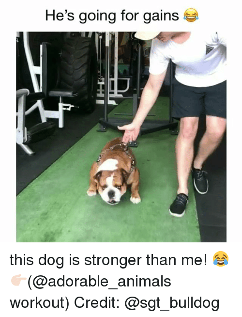 Animals, Memes, and Bulldog: He's going for gains  3 this dog is stronger than me! 😂 👉🏻(@adorable_animals workout) Credit: @sgt_bulldog