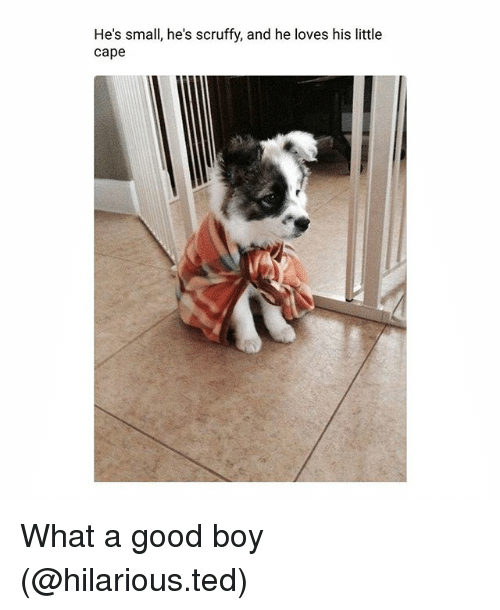 Funny, Ted, and Good: He's small, he's scruffy, and he loves his little  cape  He's small, he's scruffy, and he loves his litte What a good boy (@hilarious.ted)