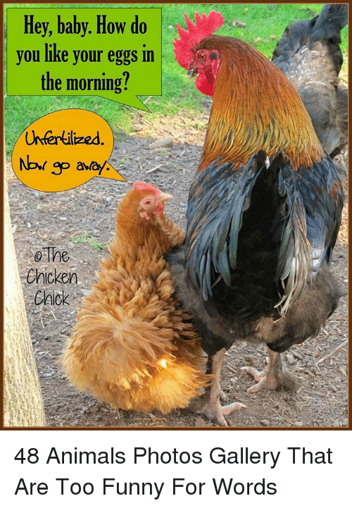 Animals, Funny, and Baby: Hey, baby. How do  you like your eggs in  the morning?  Uhfertilized  go abay  o The  enicken  EAick 48 Animals Photos Gallery That Are Too Funny For Words