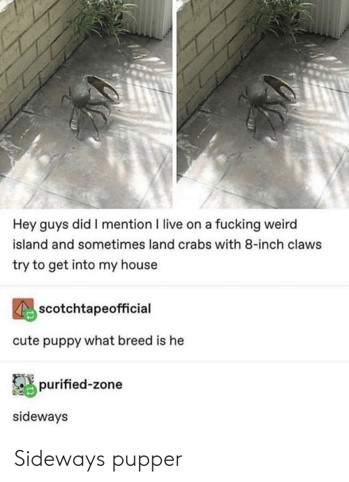 crabs: Hey guys did I mention I live on a fucking weird  island and sometimes land crabs with 8-inch claws  try to get into my house  scotchtapeofficial  cute puppy what breed is he  purified-zone  sideways Sideways pupper