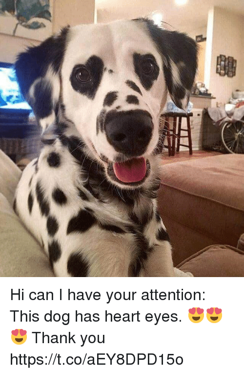 heart-eyes: Hi can I have your attention: This dog has heart eyes. 😍😍😍 Thank you https://t.co/aEY8DPD15o