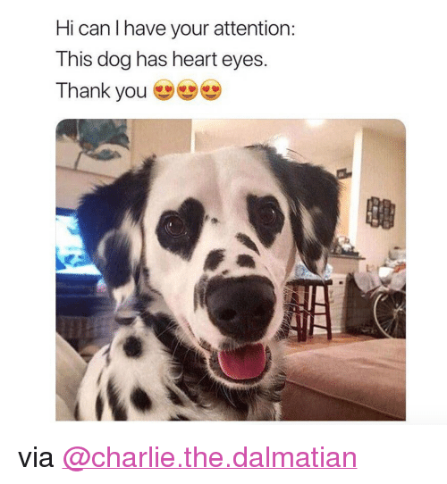 "heart-eyes: Hi can I have your attention  This dog has heart eyes  Thank you <p>via <a href=""https://www.instagram.com/charlie.the.dalmatian/"" target=""_blank"">@charlie.the.dalmatian</a></p>"