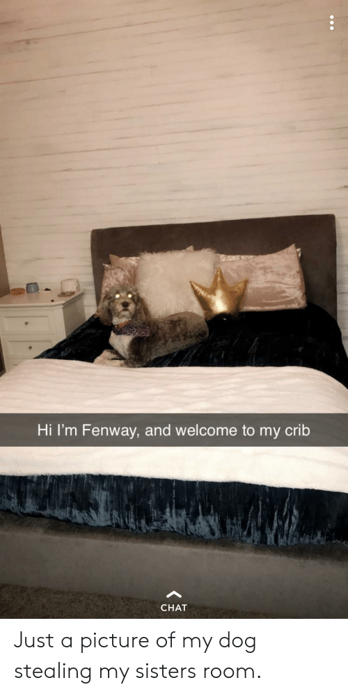 Welcome To My Crib: Hi 'm Fenway, and welcome to my crib  CHAT Just a picture of my dog stealing my sisters room.