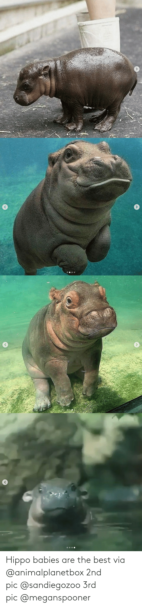 babies: Hippo babies are the best via @animalplanetbox 2nd pic @sandiegozoo 3rd pic @meganspooner