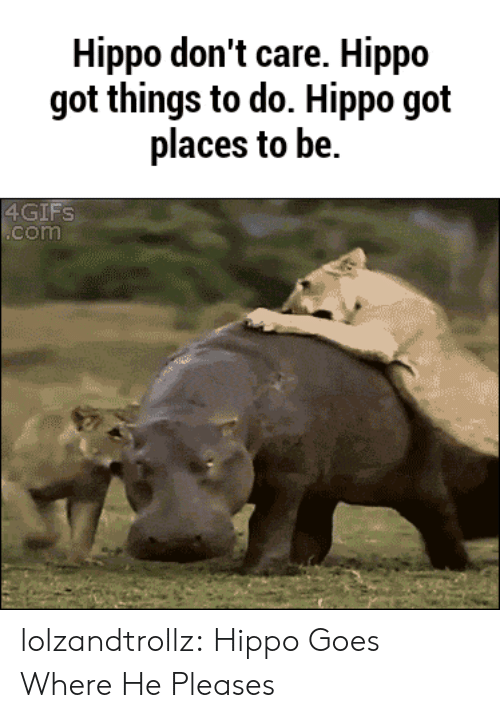 hippo: Hippo don't care. Hippo  got things to do. Hippo got  places to be.  4GIFS  .com lolzandtrollz:  Hippo Goes Where He Pleases